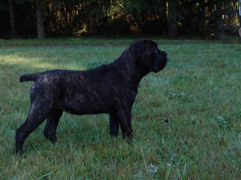 one cane corso puppy