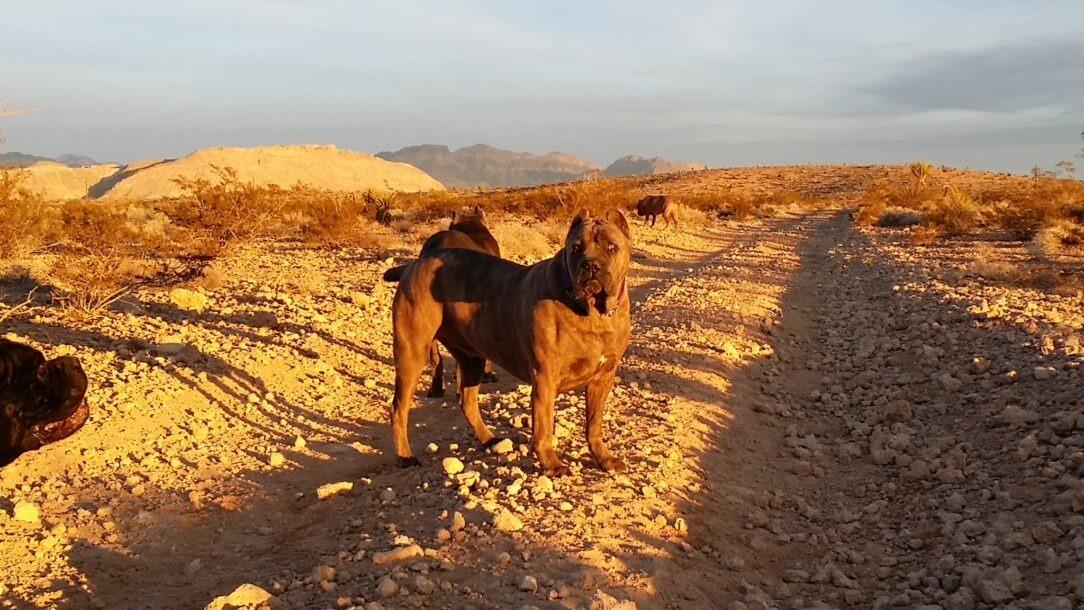 cane corso dog in desert