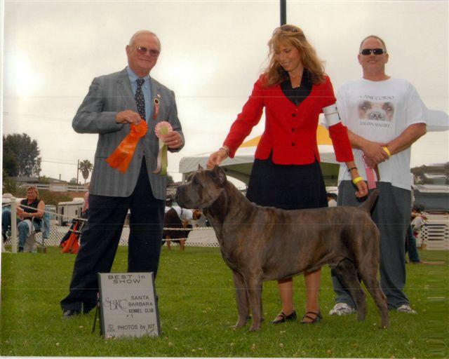 Cane Corso show dog Apollo