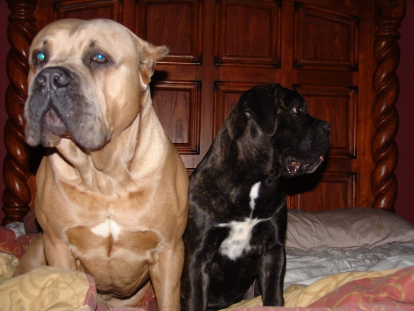 two cane corso dogs