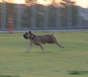 cane corso running