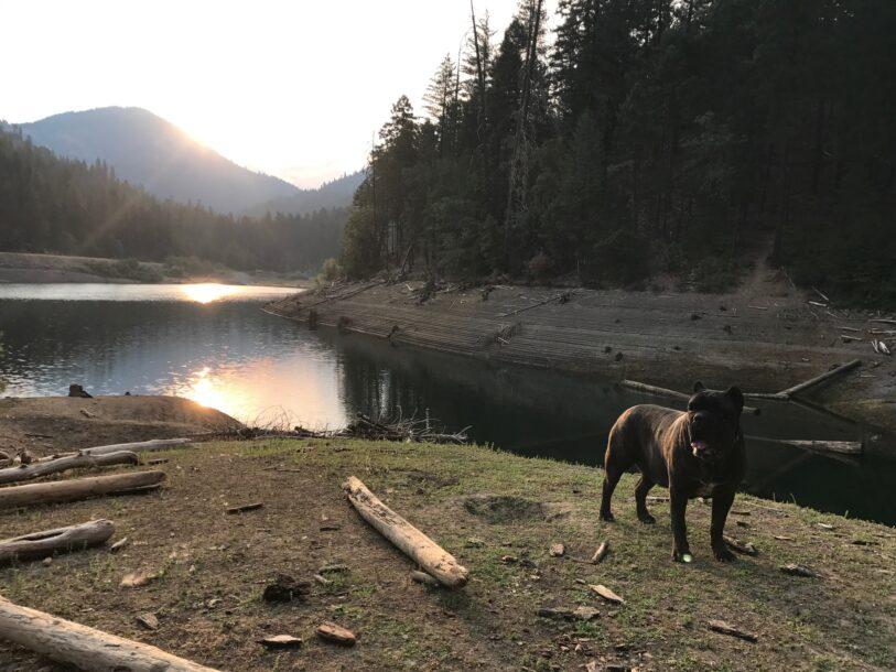 cane corso at lake