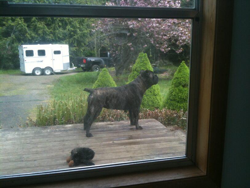 cane corso on porch