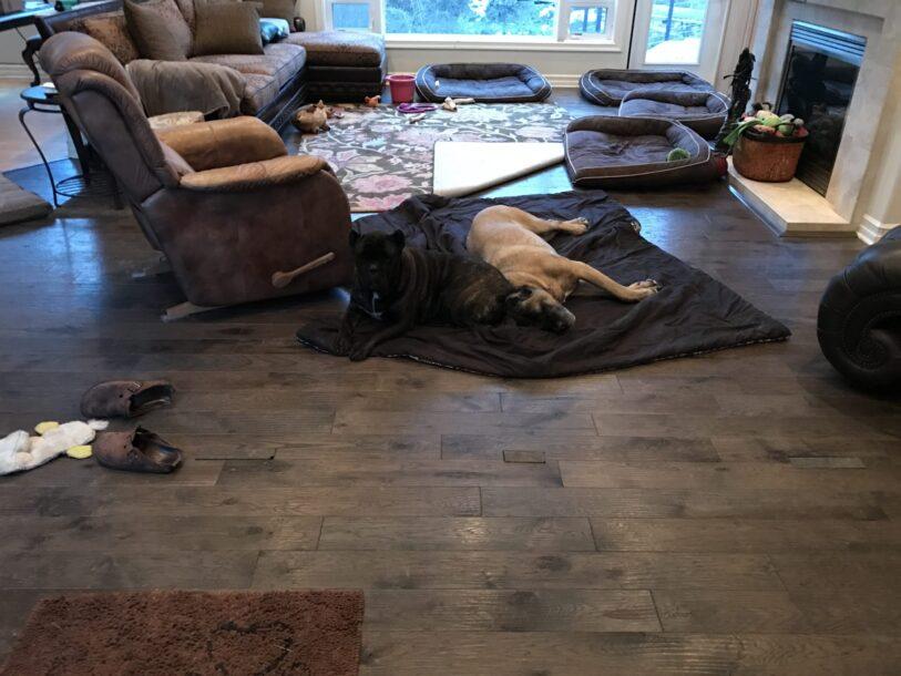 cane corso on floor