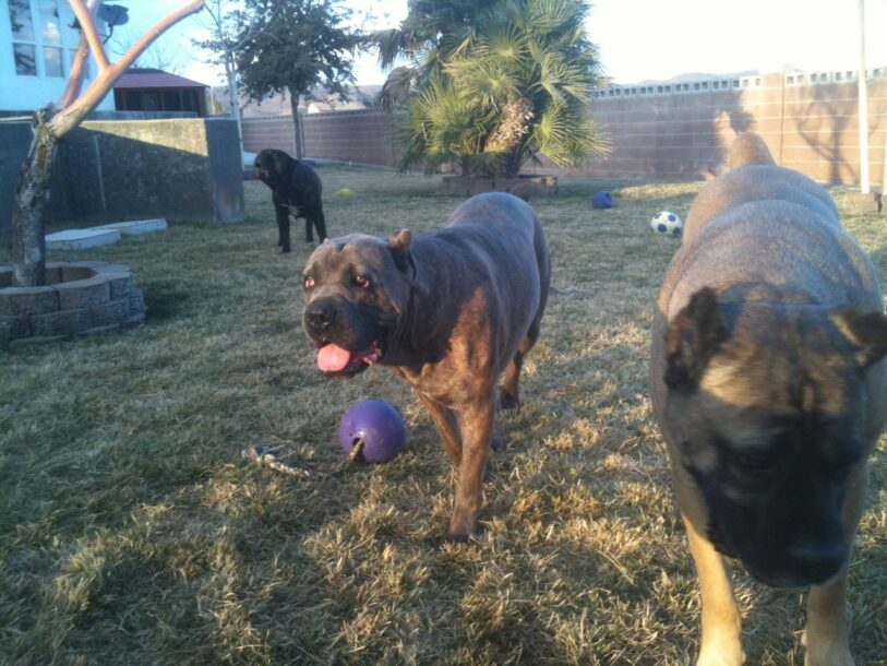 Cane Corso dogs in backyard