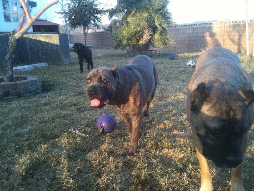 Cane Corso dogs in backyard