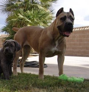 Red Rock's Venus Cane Corso dog