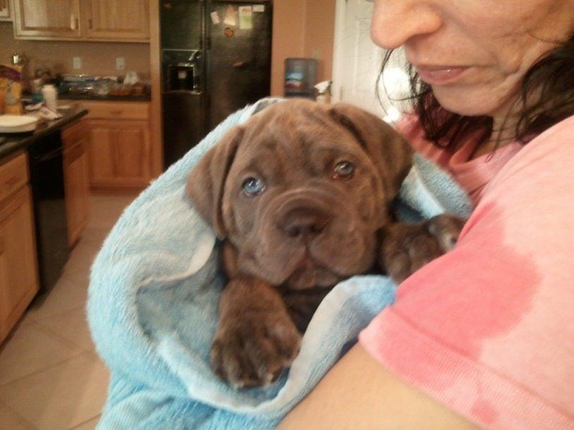 cane corso puppy in towel