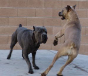 cane corso dogs playing
