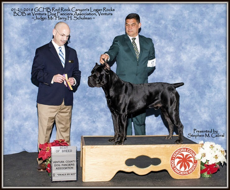 Best of Breed Cane Corso Logan Rocks