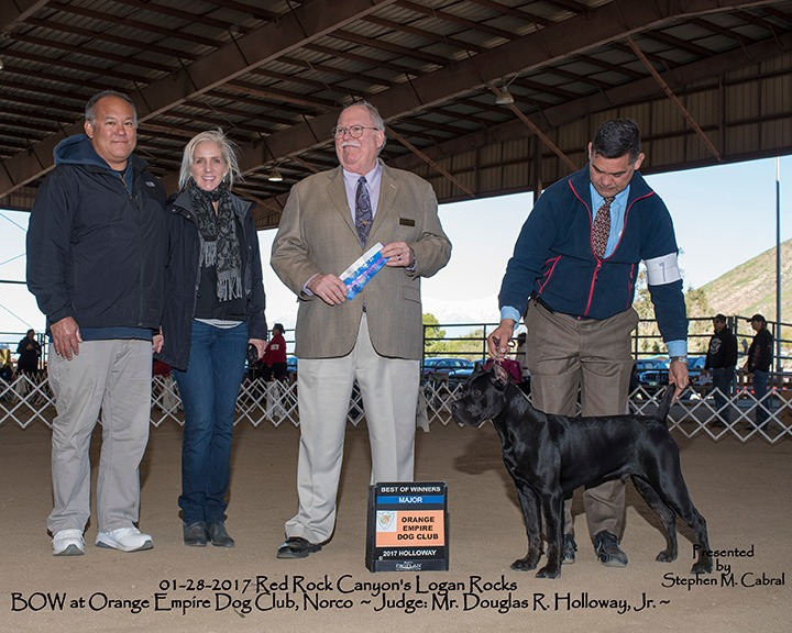 Best of Winners Cane Corso