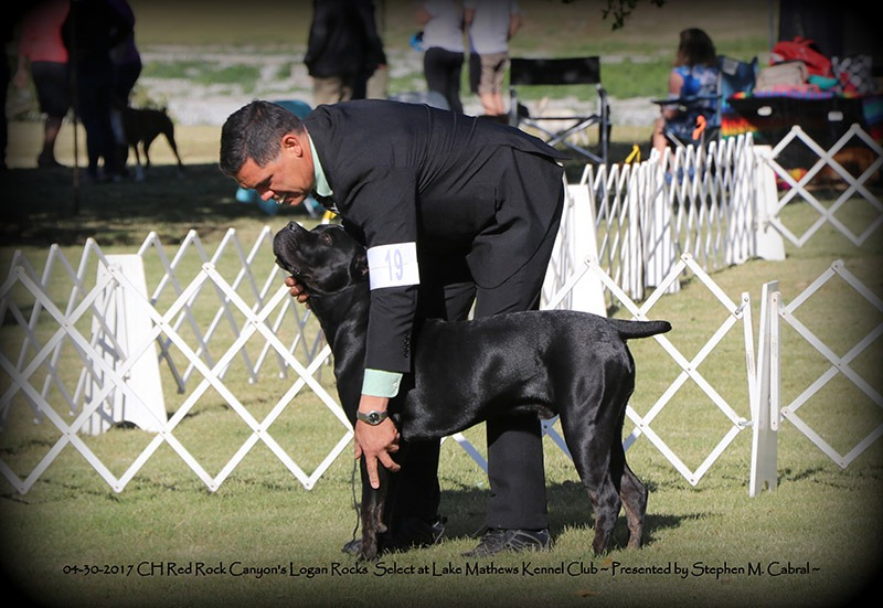 cane corso Logan wins Select