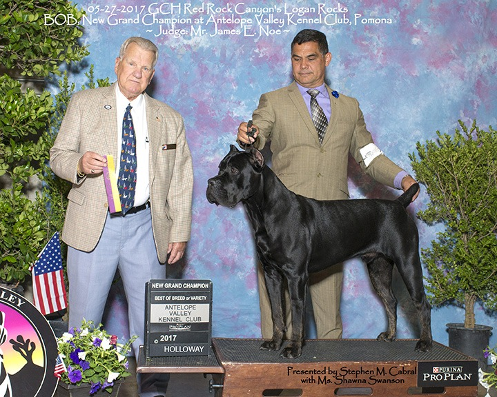 cane corso best of breed