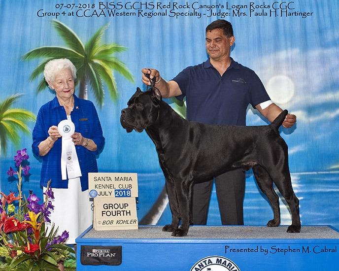 black cane corso show dog