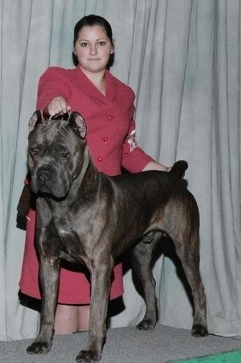 cane corso show dog