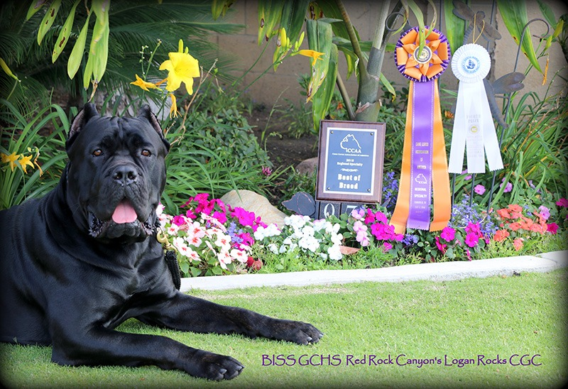 Cane Corso Logan Rocks with awards
