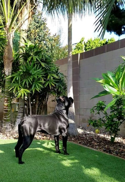 black cane corso dog