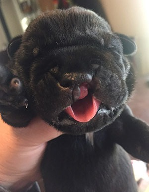 Cane Corso puppy with a cleft lip